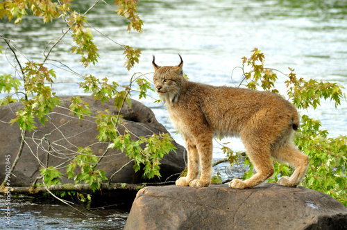 Keuken foto achterwand Lynx Lynx standing on a rock in the river.
