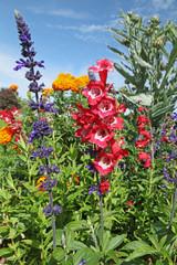 fleurs de salvia et penstémon