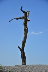 Lonely withered tree standing on top of Bet She'an Mount