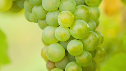 White grapes of wine on vineyard