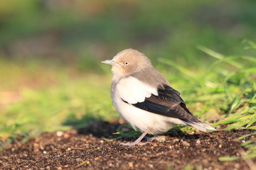 White-shouldered Starling (Sturnus sinensis) in Japan