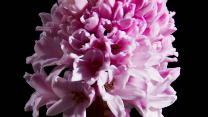 Timelapse of pink hyacinth flower blooming on black background