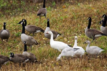 Geese in a field