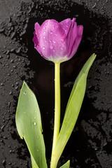 Wet Tulip on Black
