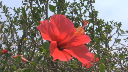 Red hibiscus flower moving in the wind pan