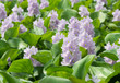 Closeup of Flowering Water Hyacinth (Eichhornia crassipes) - 79815659