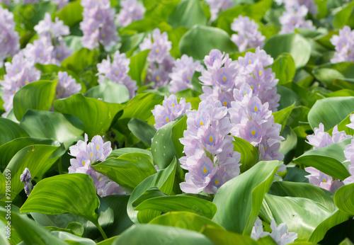Closeup of Flowering Water Hyacinth (Eichhornia crassipes) - 79815659
