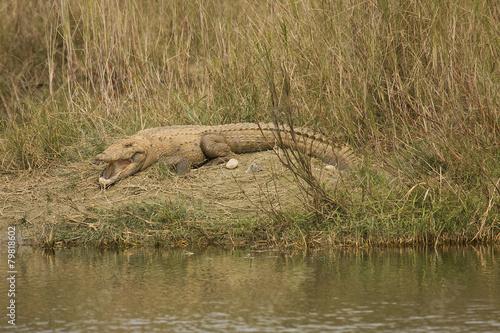 Foto op Plexiglas Krokodil mugger crococile taking sun at Bardia national park, Nepal