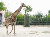Giraffe in  aviary, Safari Park Taigan, Crimea. poster