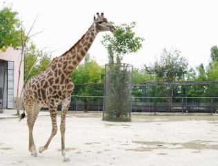 Giraffe in  aviary, Safari Park Taigan, Crimea.