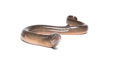 Fresh thailand eel on white background