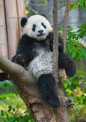 Panda sitting in tree
