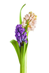 Bouquet from hyacinth flowers arrangement centerpiece isolated o