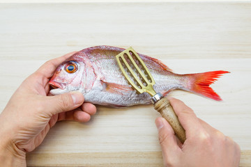 scraping off scales of a japanese sea bream (Tai)