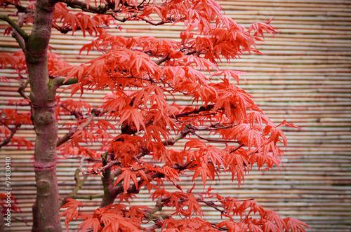Fotobehang Bonsai Bonsai Baum im Herbst