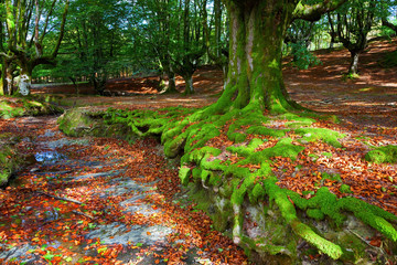Forest in the fall. Hayedo in the Basque Country, Spain