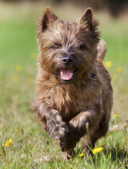 Brown Cairn Terrier Dog