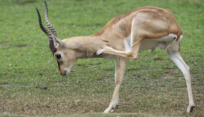 Itching Deer