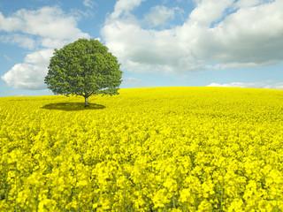 Tree in Rapseed Field