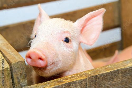 Pink pig - 79842204