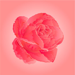 Flower pink rose vector