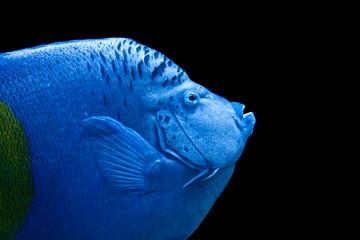 Portrait eines arabischen Kaiserfisches