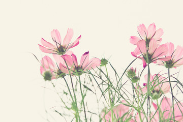 soft focus of cosmos flowers