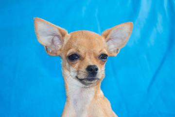 chihuahua mini cara
