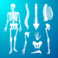 Human skeleton and component parts