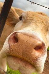 mufle de vache