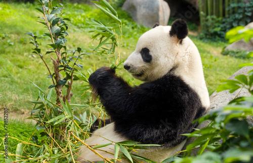 Foto op Aluminium Panda Hungry giant panda bear eating bamboo