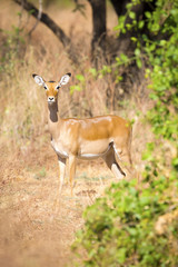 One impala in Africa