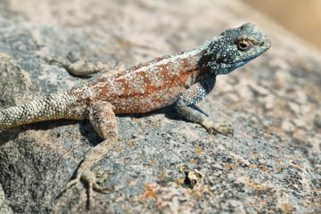 Blue-headed agama lizard
