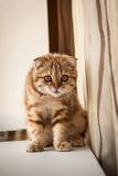 Lovable scottish fold kitten enjoying his life poster