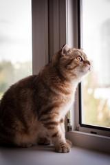 Cute scottish fold cat enjoying his life