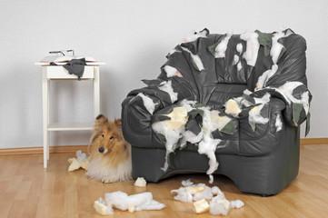 Zerstörter Sessel und Collie Hund