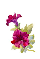 Watercolor petunia on white background
