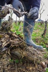 Attacher la vigne