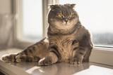Lovable scottish fold cat poster