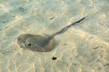 Southern stingray glides stealthily along the sandy sea bottom
