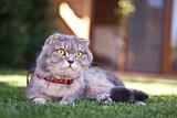 Lovable scottish fold cat on green grass poster