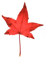 Herbstblatt Amberbaum (Liquidambar)
