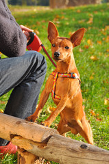 Red Dwarf Pinscher small dog on a leash