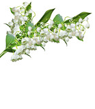 The branch of lilies of the valley flowers isolated on white bac