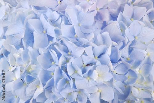Tuinposter Hydrangea Blue hydrangea macrophyllous