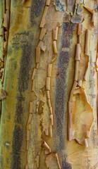 Peeling tree bark showing  rough texture