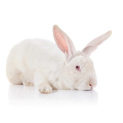 White timid rabbit with red eyes