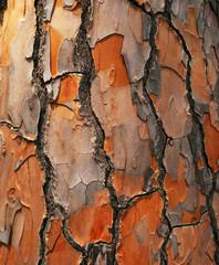 Bark of Pine Tree. Background