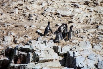 Humboldt penguins,Spheniscus, humboldti
