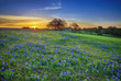 Texas bluebonnet field at sunrise - 79876687
